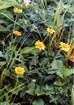 Tanigawa_flower7
